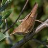 Rørsanger / Eurasian Reed-Warbler <br /> Linnesstranda, Lier 24.8.2013<br /> Canon EOS 7D + EF 100-400 mm 4,5-5,6 L