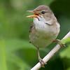 Myrsanger / Marsh Warbler<br /> Linnesstranda, Lier 24.6.2012<br /> Canon EOS 7D + EF 100-400 mm 4,5-5,6 L