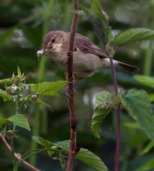 Myrsanger / Marsh Warbler<br /> Linnesstranda, Lier 23.6.2012<br /> Canon EOS 7D + EF 100-400 mm 4,5-5,6 L