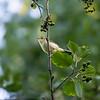 Gulsanger / Icterine Warbler<br /> Linnesstranda, Lier 10.8.2014<br /> Canon EOS 7D + Tamron 150 - 600  mm 5,6 - 6,3