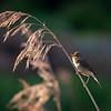 Busksanger / Blyth's Reed-Warbler <br /> Lahellholmen, Røyken 9.6.2007<br /> Canon EOS 20D + EF 400 mm 5,6