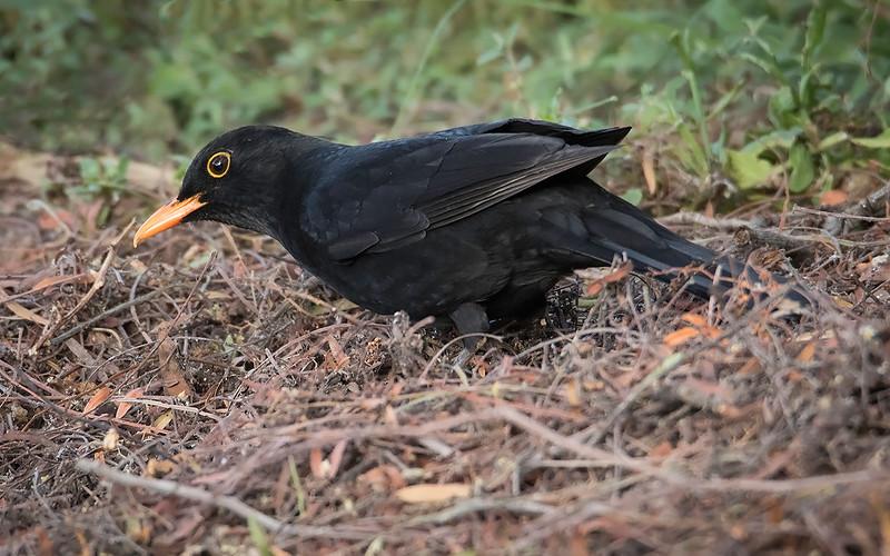 Svarttrost / Eurasian Blackbird<br /> Gran Canaria, Spania 31.12.2014<br /> Canon 7D Mark II + Tamron 150 - 600 mm 5,0 - 6,3