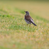 Gråtrost / Fieldfare<br /> Linnesstranda, Lier 25.10.2020<br /> Canon 5D Mark IV + EF 500mm f/4L IS II USM + 1.4x Ext