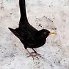 Svarttrost / Eurasian Blackbird <br /> Linnesstranda, Lier 11.4.2006<br /> Canon EOS 20D + EF 400 mm 5.6 L