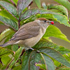 Munk / Blackcap<br /> Berger, Drammen 30.8.2020<br /> Canon  5D Mark IV + EF 500mm f/4L IS II USM + 1.4x Ext III