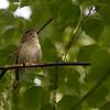 Rørsanger / Eurasian Reed-Warbler<br /> Linnesstranda, Lier 30.6.2013<br /> Canon EOS 5D Mark II + EF 100-400 mm 4,5-5,6