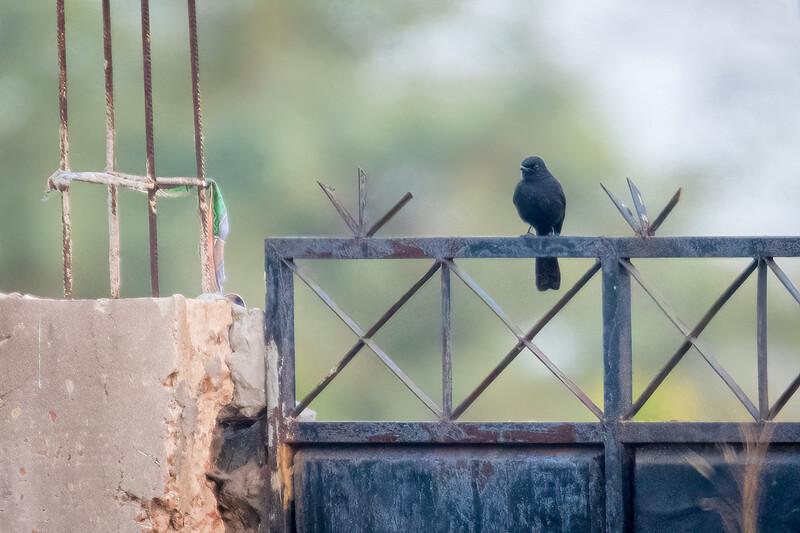Svartfluesnapper / Northern Black Flycatcher<br /> Footsteps, Gambia 24.1.2016<br /> Canon 7D Mark II + Tamron 150 - 600 mm 5,0 - 6,3