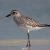 Tundralo / Grey Plover <br /> Salalah, Oman 02.12.2010<br /> Canon EOS 50D + EF 400 mm 5.6 L