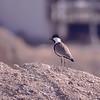 Sporevipe / Spur-winged Lapwing <br /> Eilat, Israel 2.3.2000<br /> Nikon Nikkormat FTn + Vivitar 400 mm 5,6