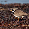 Sandlo / Ringed Plover<br /> Jæren, Rogaland 21.5.2018<br /> Canon 7D Mark II + EF 500mm f/4L IS II USM + 1.4x Ext