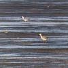 Krabbeeter / Crab Eater <br /> Shannah, Oman 27.11.2010<br /> Canon EOS 50D + EF 400 mm 5.6 L