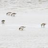 Myrsnipe / Dunlin<br /> Agger tange, Danmark 12.4.1014<br /> Canon EOS 7D + EF 100-400 mm 4,5-5,6 L