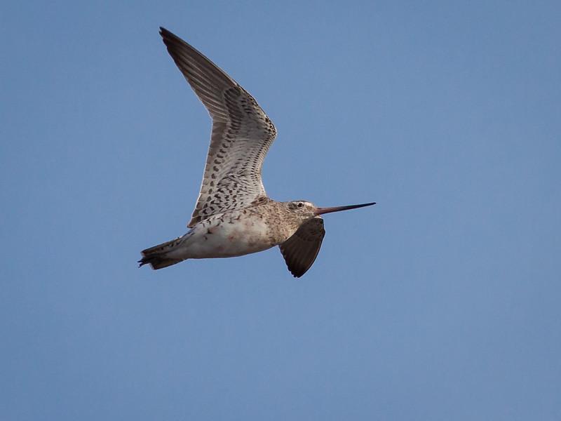 Lappspove / Bar-tailed Godwit <br /> Linnesstranda, Lier 19.4.2010<br /> Canon EOS 50D + EF 400 mm 5.6 L