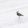 Vipe / Northern Lapwing <br /> Linnesstranda, Lier 28.5.2005<br /> Canon EOS 20D + EF 200 mm 2,8 L + Extender 1,4 x