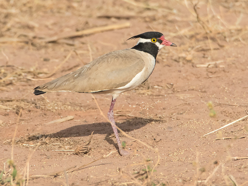 Svarttoppvipe / Black-headed Lapwing<br /> Kerr Sulay, Gambia 1.2.2016<br /> Canon 7D Mark II + Tamron 150 - 600 mm 5,0 - 6,3