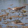 Fasanbladhøne / Pheasant-tailed Jacana <br /> Khawr Taqah, Oman 30.11.2010<br /> Canon EOS 50D + EF 400 mm 5.6 L