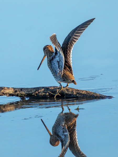 Enkeltbekkasin / Common Snipe<br /> Hornborgasjön, Sverige 26.7.2018<br /> Canon 5D Mark IV + EF 500mm f/4L IS II USM + 2x Ext