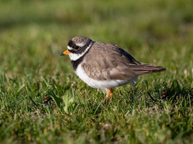 Sandlo / Ringed Plover<br /> Linnesstranda, Lier 22.6.2019<br /> Canon 5D Mark IV + EF 500mm f/4L IS II USM + 1.4x Ext