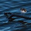 Strandsnipe / Common Sandpiper <br /> Linnesstranda, Lier 10.5.2010<br /> Canon EOS 50D + EF 400 mm 5,6 L