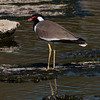 Brillevipe / Red-wattled Lapwing <br /> Sohar, Oman 22.11.2010<br /> Canon EOS 50D + EF 400 mm 5.6 L