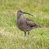 Småspove / Whimbrel<br /> Vesterålen, Nordland 14.7.2019<br /> Canon 5D Mark IV + EF 500mm f/4L IS II USM + 2x Ext
