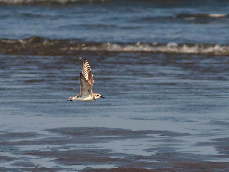 Mongollo / Lesser Sand Plover <br /> Liwa, Oman 23.11.2010<br /> Canon EOS 50D + EF 400 mm 5.6 L