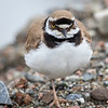 Dverglo / Little Ringed Plover<br /> Sundland; Drammen 7.6.2020<br /> Canon  5D Mark IV + EF 500mm f/4L IS II USM + 1.4x Ext
