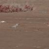 Ørkenlo / Greater Sand Plover <br /> Ras As Sawadi, Oman 22.11.2010<br /> Canon EOS 50D + EF 400 mm 5.6 L