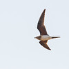 Brakksvale / Collared Pratincole<br /> Rikhaly Rice Fields, Gambia 3.2.2016<br /> Canon 7D Mark II + Tamron 150 - 600 mm 5,0 - 6,3