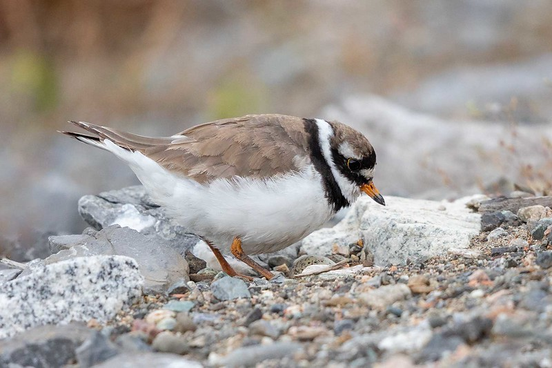 Sandlo / Ringed Plover<br /> Linnesstranda, Lier 6.7.2019<br /> Canon 5D Mark IV + EF 500mm f/4L IS II USM + 1.4x Ext