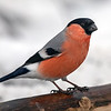 Dompap / Eurasian Bullfinch <br /> Linnesstranda, Lier 24.2.2018<br /> Canon 5D Mark IV +  500mm f/4L IS II USM + 1.4x Ext