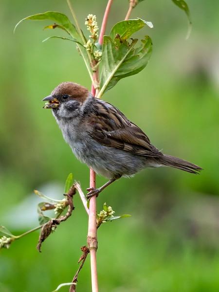 Pilfink / Eurasian Tree Sparrow <br /> Linnesstranda, Lier 31.8.2019<br /> Canon 5D Mark IV + EF 500mm f/4L IS II USM + 1.4x Ext