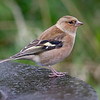 Bokfink / Chaffinch <br /> Linnesstranda, Lier 30.9.2018<br /> Canon 5D Mark IV + EF 500mm f/4L IS II USM + 1.4x Ext