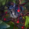 Pilfink / Eurasian Tree Sparrow <br /> Jensvoll, Lier 25.10.2014<br /> Canon EOS 7D + Tamron 150 - 600 mm 5,6 - 6,3