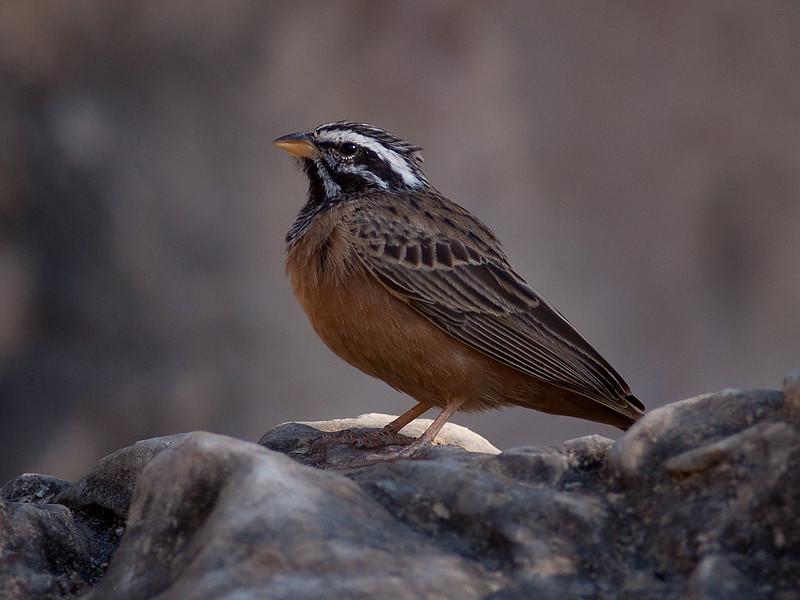 Sebraspurv / Cinnamon-breasted Bunting <br /> Ayn Razat, Oman 30.11.2010<br /> Canon EOS 50D + EF 400 mm 5.6 L