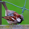 Gråspurv / House Sparrow <br /> Hornborgasjön, Sverige 30.5.2007<br /> Canon EOS 20D + EF 400 mm 5,6