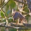 Løvsanger / Willow warbler