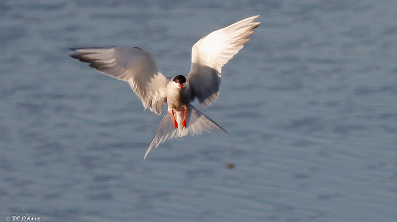 Makrellterne / Common tern
