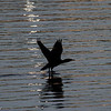 Storskarv / Great cormorant