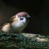 pilfink / Eurasian tree sparrow