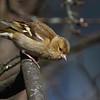 Bokfink / Common chaffinch