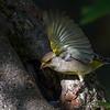 grønnfink ps-674
