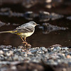 Vintererle / Grey wagtail