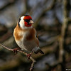 Stillits / European goldfinch
