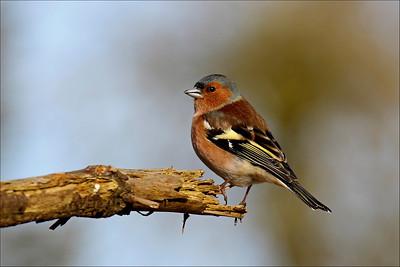 Bokfink - Common Chaffinch