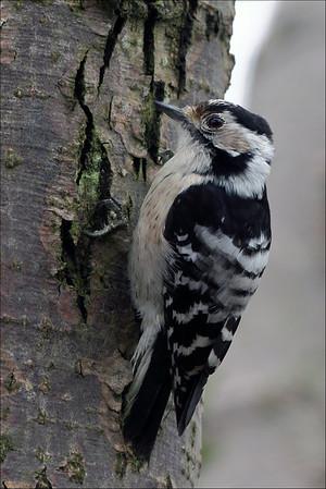 Dvergspett - Lesser Spotted Woodpecker