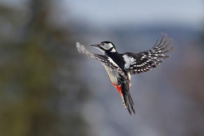 Flaggspett - Great Spotted Woodpecker