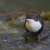 Fossekall - White-throated Dipper