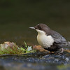 Fossekall - White-throated Dipper