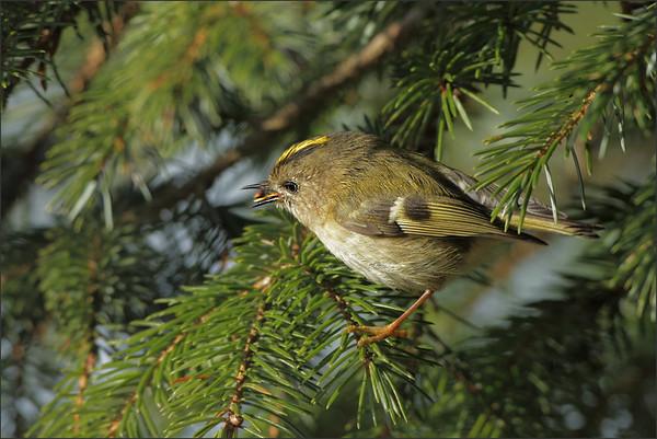 Fuglekonge, den minste fuglen vi har i Norge, her med et furufrø i nebbet...